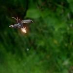 Firefly at dusk