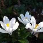 Flowe_lily