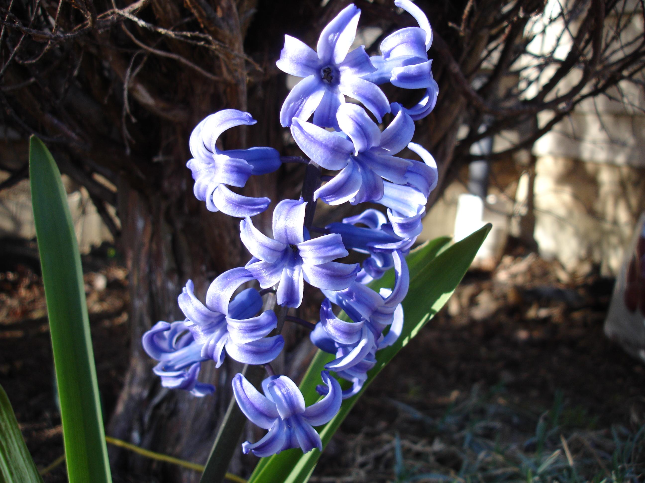 flower_violet