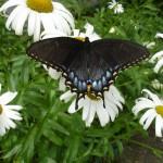 butterfly DSC00059