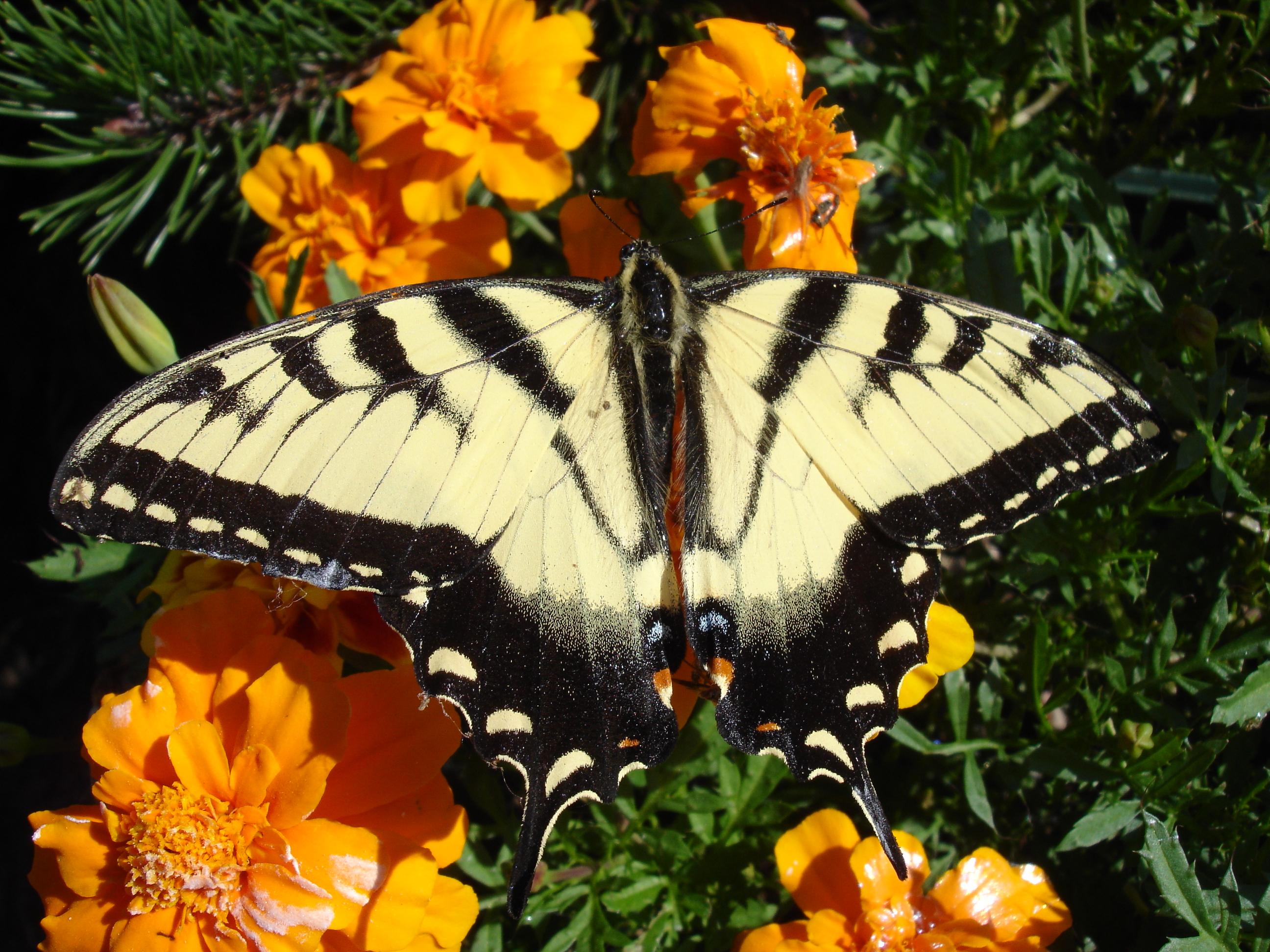 butterfly DSC00174