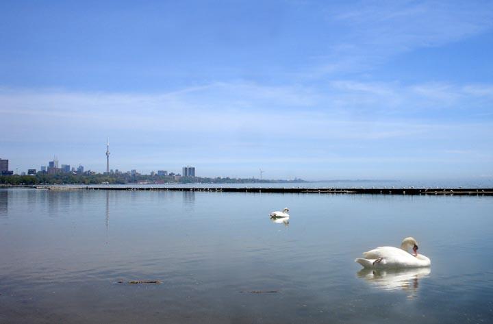Lake Ontrio Toronto Swan 1 copy